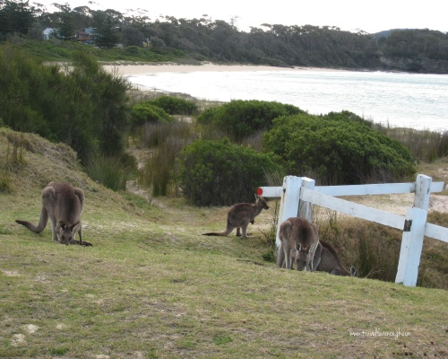 'Roos on the beach