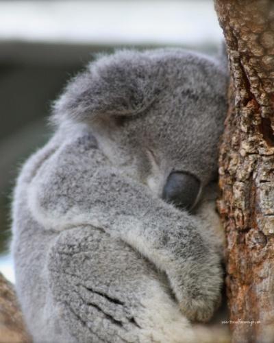 Koala snoozing