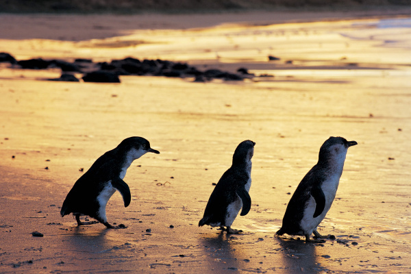 Photo Credit: Penguin Parade