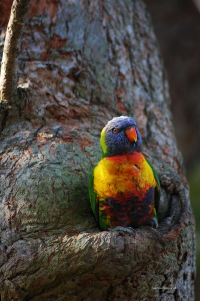 """The bird life in Australia abounds.  In the Royal Botanic Gardens you can see galahs, ibis, cockatoos, rainbow lorikeets, and even a kookaburra or two.  We call this lorikeet """"Ernie"""".  He always comes out to say hi when we're there."""