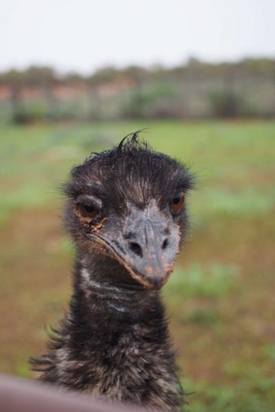Rissole, Emu