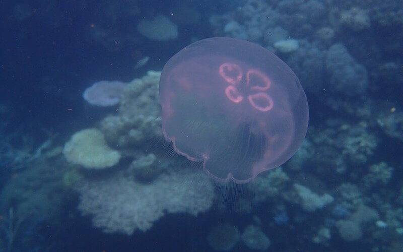 jellyfish on Great Barrier Reef
