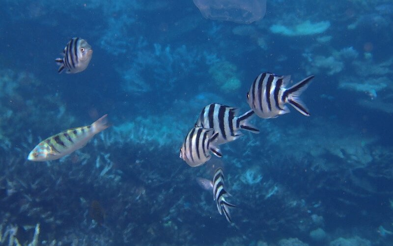 Tropical Fish found on the Outer Barrier Reef