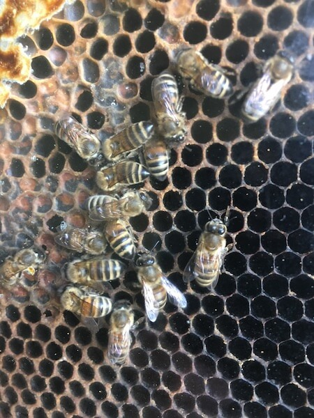 Ligurian Bees on Kangaroo Island