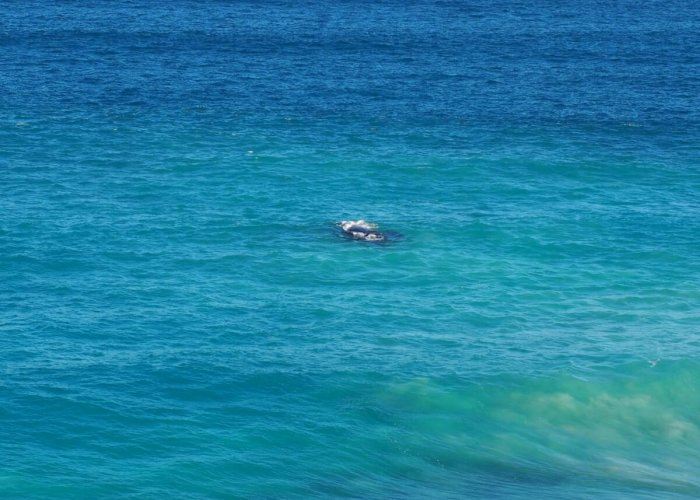 Whales.Head of Bight