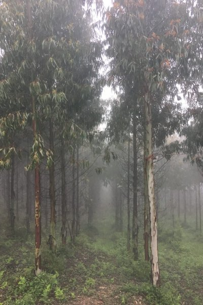 Eucalyptus Trees!