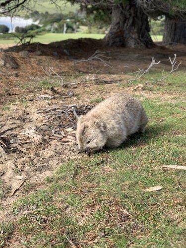 Wombats galore!